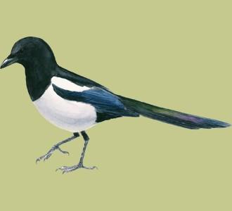 Acoger a un pájaro de especie urraca parlanchina