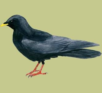 Acoger a un pájaro de especie chova