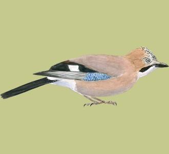 Acoger a un pájaro de especie arrendajo