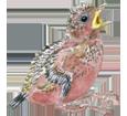 Urraca parlanchina - plumaje 65