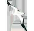 Albatros - plumaje 5