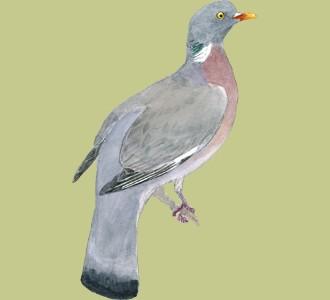Acoger a un pájaro de especie paloma torcaz