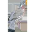 Paloma torcaz - plumaje 57