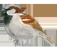 Gorrión - plumaje 26