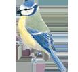 Herrerillo común  - plumaje 1