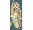 Búho chico - plumaje 12