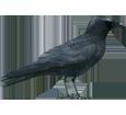 Corneja negra - plumaje 51
