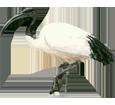 Ibis sagrado - plumaje 65