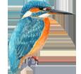Martín pescador - plumaje 1