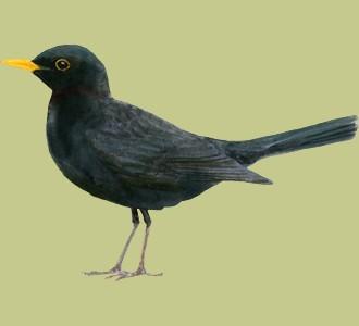 Acoger a un pájaro de especie mirlo negro