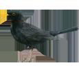 Mirlo negro  - plumaje 51