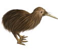 Kiwi - plumaje 52