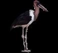Marabú africano - plumaje 5