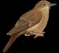 Ruiseñor - plumaje 26