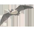 Murciélago - plumaje 69