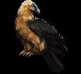 Buitre barbado - plumaje 36