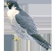 Halcón peregrino - plumaje 29
